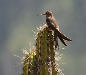 Colibri, Peru