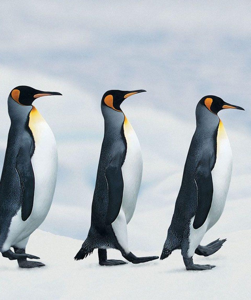 king-penguins