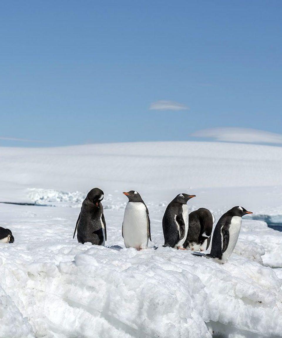 south-shetland-island-gentoo-penguins