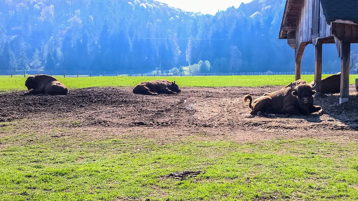 Zimbri la rezervația de zimbri din Vama Buzăului