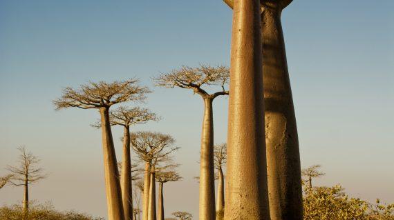 Baobab - Morondava