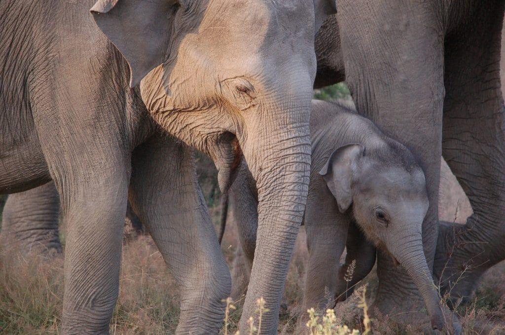 Elefant in Udawalawe