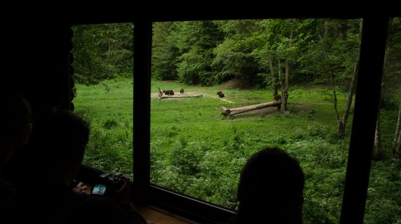 Bear-Watching-in-Brasov-Romania-with-NeoTour-Brasov