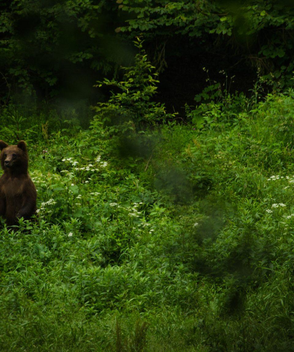 Urs brun in picioare
