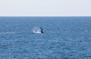 voyage 7810, American West Coast, Silver Explorer Sea Day, Whales