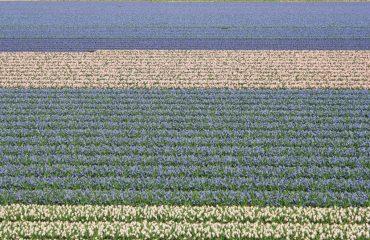 Campuri cu flori in Olanda