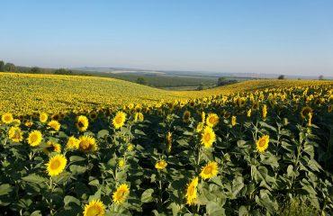 Cu bicicleta prin Republica Moldova - Floarea soarelui