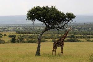Girafe în Maasai Mare