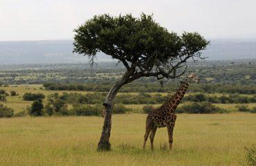 Girafa Kenya