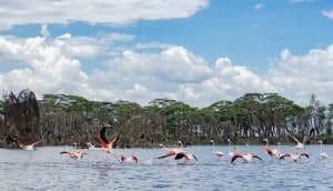 Flamingo pe lacul Naivasha