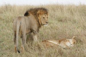 Lei în Maasai Mara