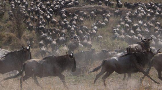 Migrația bivolilor africani