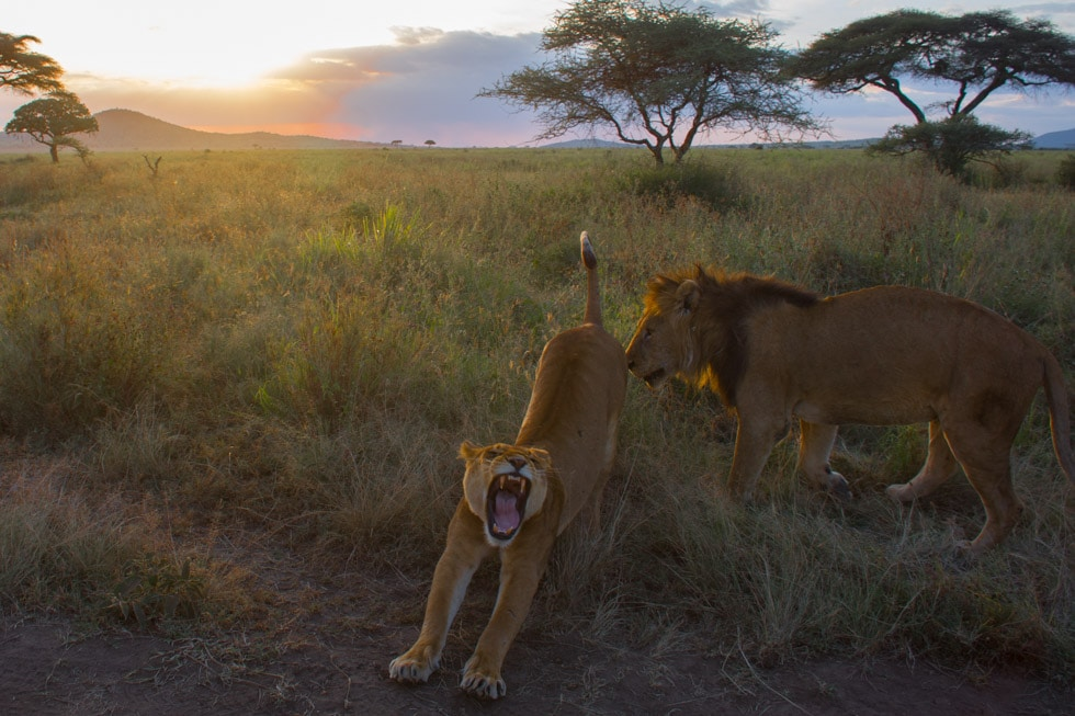 Safari în Africa - lei