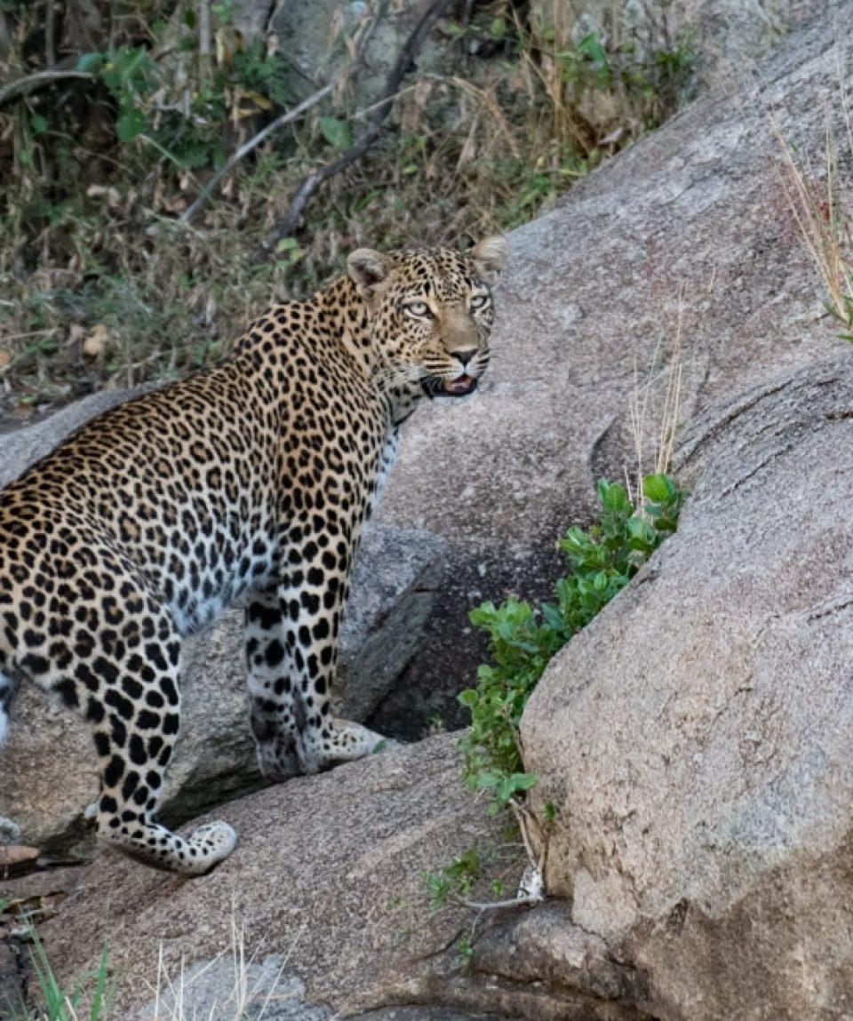 Safari în Africa - leopard