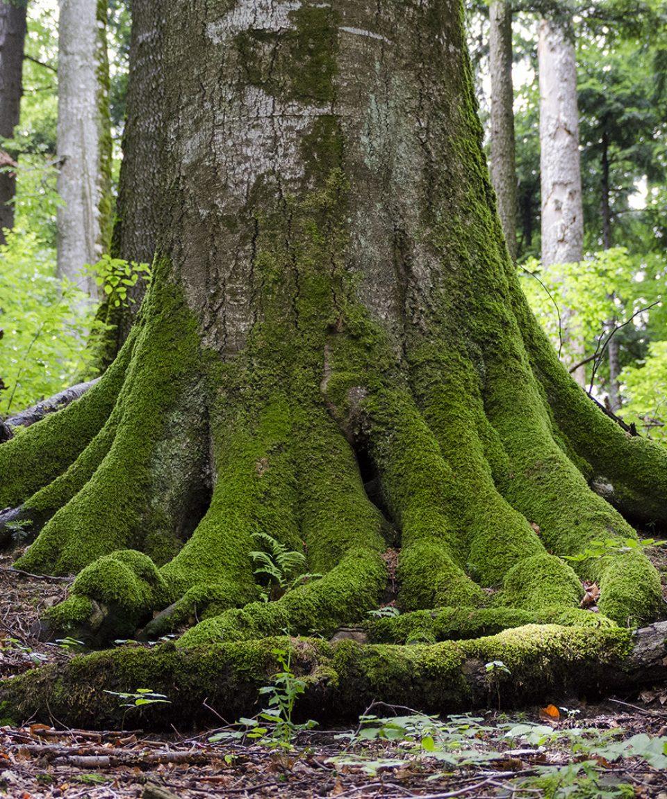 Arbore secular