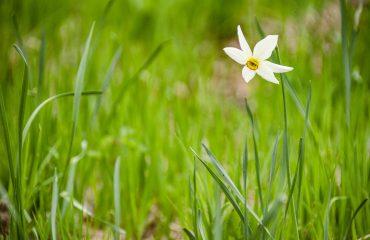 Narcisa 1